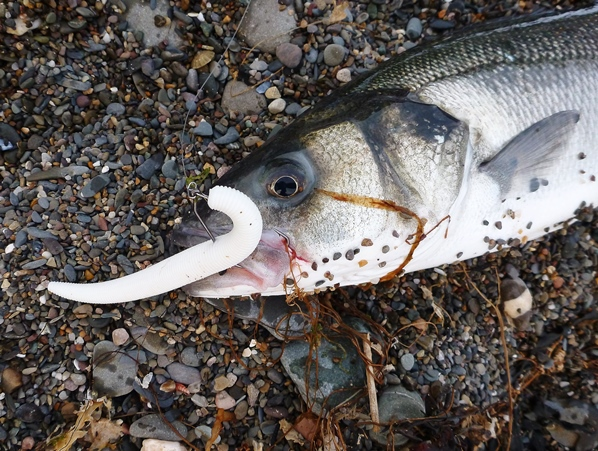 A Bass caught on a weedless weightless lure