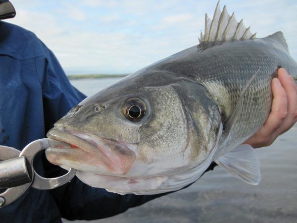 A bass safely held on a Boga