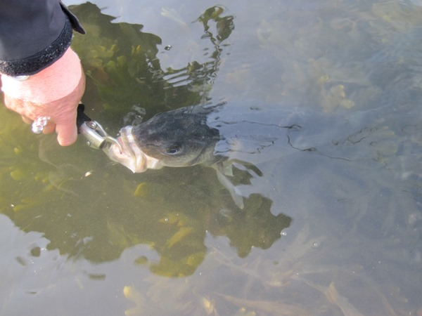 A bass being released with a Boga