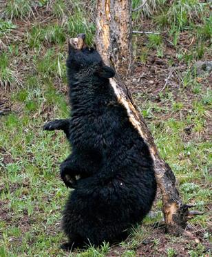 bearscratch_s